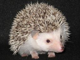 Hedgehogs For Sale In Missouri